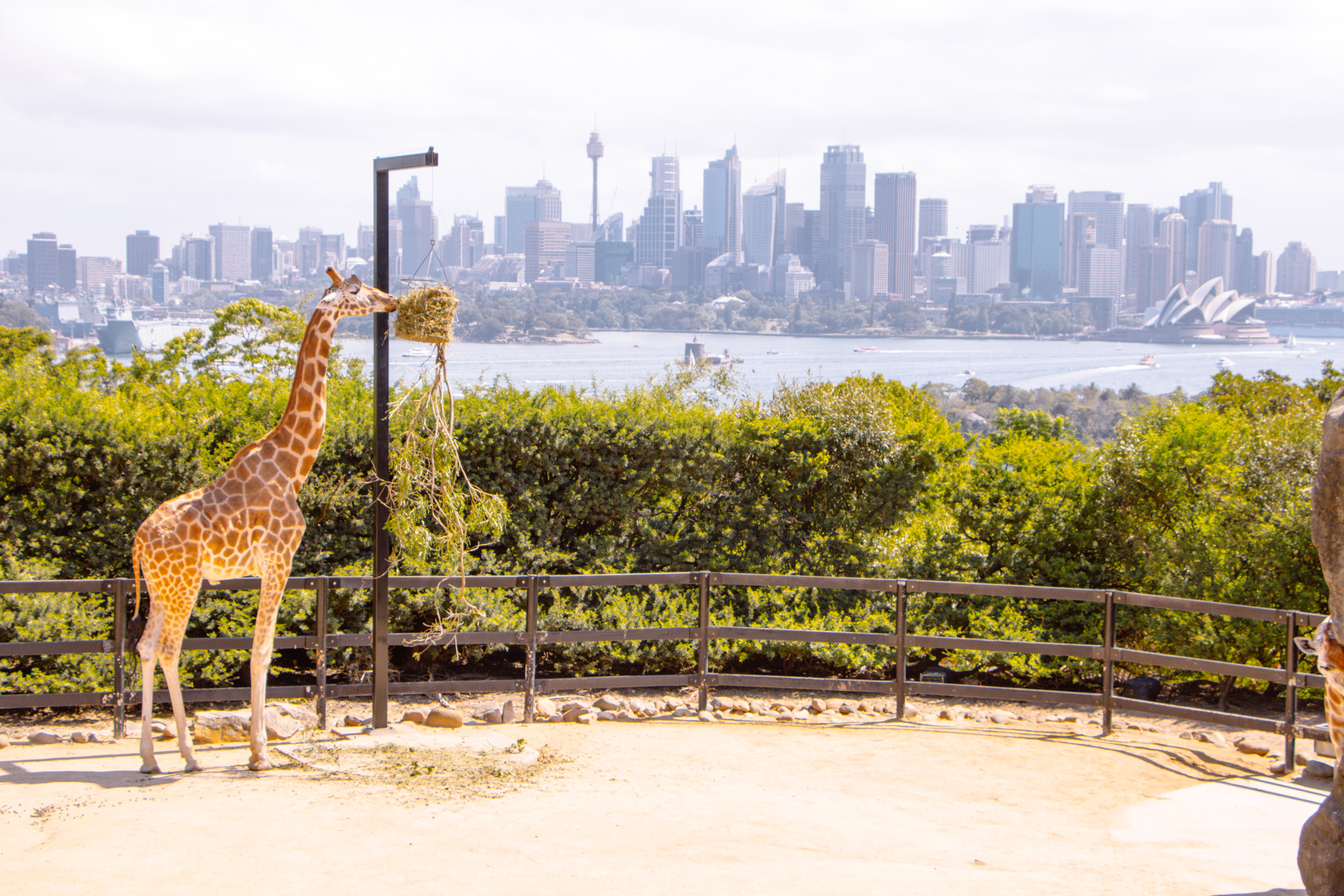 Sydney Zoo Giraffe overlooking harbour and bay