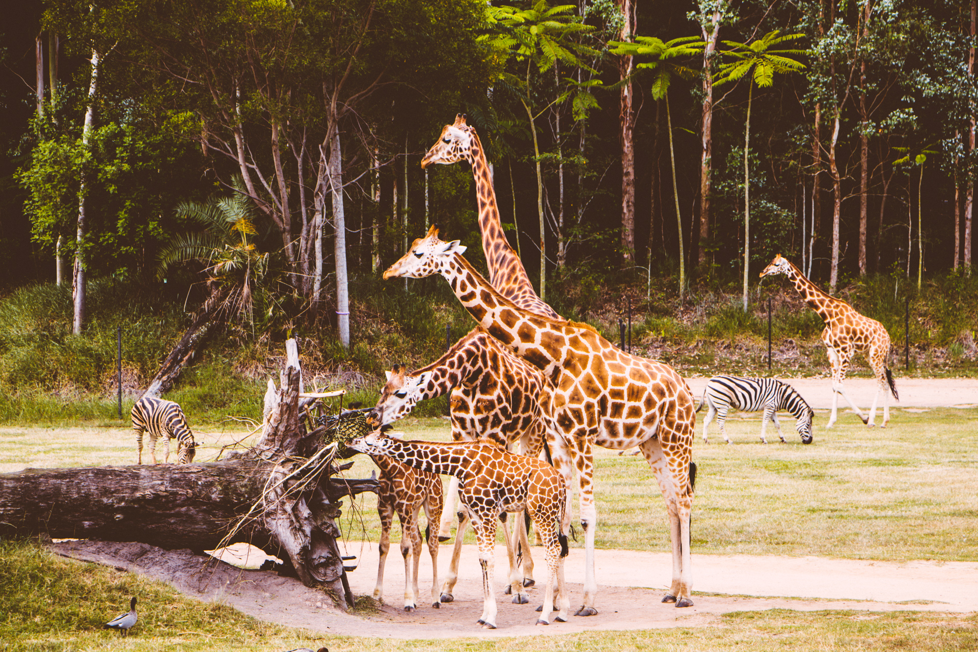 Giraffes at Australia Zoo