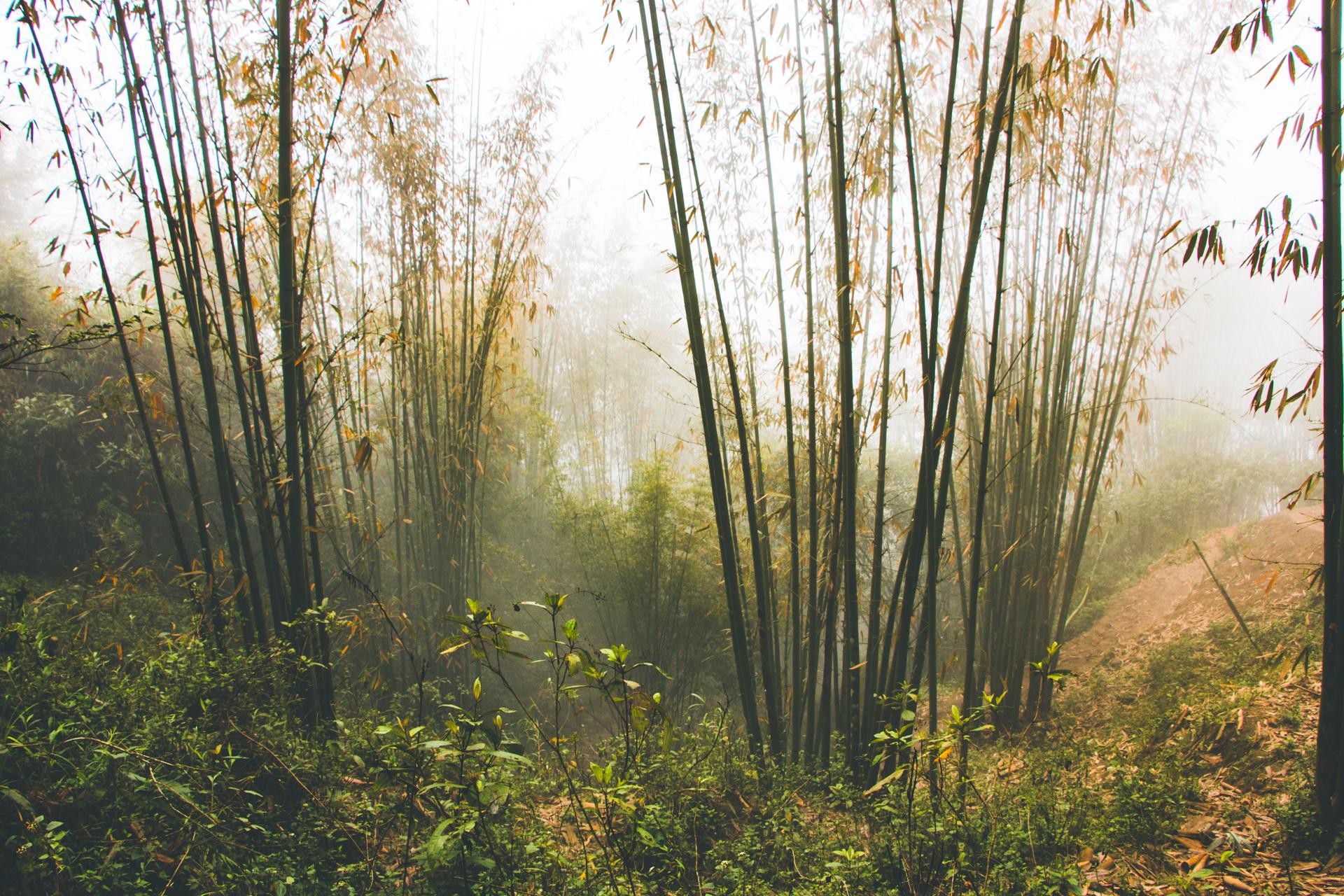 Bamboo forest Sapa
